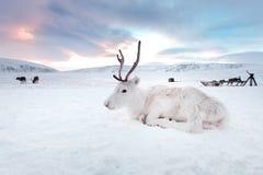 De winter witte herten in de woestijn van Siberië, Rusland, Yamal Het rusten op de sneeuw bij zonsopgang Stock Afbeeldingen