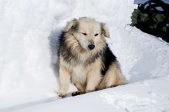 De winteravonturen Hond carpathians ukraine stock afbeelding