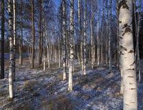 De winterberken royalty-vrije stock foto's