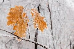 De winterbladeren met sneeuw en rijp worden behandeld die Stock Foto's