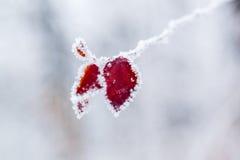 De winterbladeren met sneeuw en rijp worden behandeld die Stock Foto