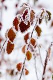 De winterbladeren met sneeuw en rijp worden behandeld die Royalty-vrije Stock Foto