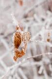 De winterbladeren met sneeuw en rijp worden behandeld die Stock Afbeelding