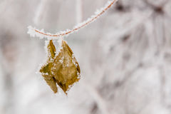De winterbladeren met sneeuw en rijp worden behandeld die Royalty-vrije Stock Afbeelding