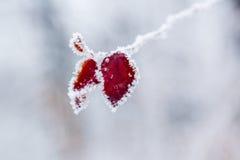 De winterbladeren met sneeuw en rijp worden behandeld die Stock Fotografie