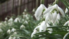De winterbloemen in de krokus en de sneeuwdalingen van Engeland stock video