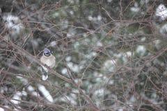 De winterbluejay in de sneeuw Stock Foto