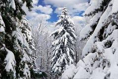 De winterbomen die met sneeuw in het bos worden behandeld. Royalty-vrije Stock Afbeelding