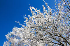 De winterboom met berijpte takken Royalty-vrije Stock Fotografie