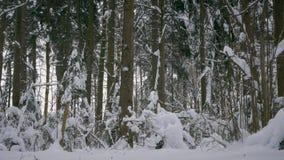 De winterbos, bomen en lichte sneeuwdalingen stock video