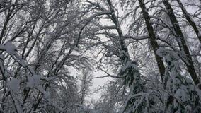De winterbos, bomen in de sneeuw, lichte sneeuwdalingen stock videobeelden
