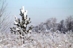De winterbos, een kleine spar, sneeuw, sparren, de winter stock afbeelding