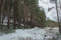 De winterbos met bomen met sneeuw worden behandeld die stock fotografie