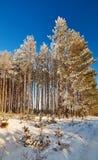 De winterbos met snow-covered takken van bomen feeschoonheid Stock Foto