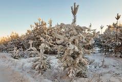 De winterbos met snow-covered takken van bomen feeschoonheid Royalty-vrije Stock Fotografie
