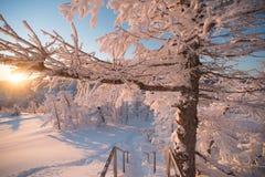De winterbos onder sneeuwo zonsondergang Stock Afbeelding
