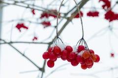 De winterbos van viburnum stock afbeeldingen