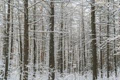 De winterbos Vele snow-covered pijnboomboomstammen, het gras onder Th Stock Afbeeldingen