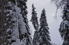 De winterbos in Vologda Royalty-vrije Stock Afbeelding
