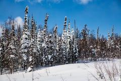 De winterbos in zonnig weer tegen een blauwe hemel stock afbeelding