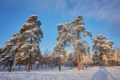 De winterdag in een pijnboombos royalty-vrije stock foto's