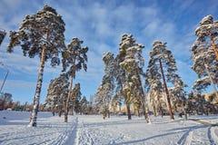 De winterdag in een pijnboombos stock foto's