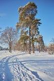 De winterdag in een pijnboombos royalty-vrije stock afbeelding