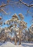De winterdag in een pijnboombos royalty-vrije stock fotografie