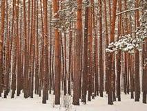 De winterdennenbos (pijnboombos) Royalty-vrije Stock Afbeelding