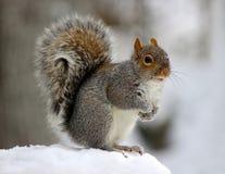De wintereekhoorn Royalty-vrije Stock Afbeeldingen