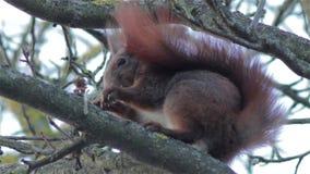 De wintereekhoorn op een boom stock video
