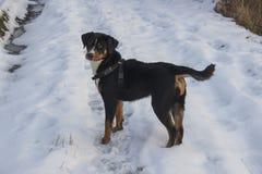 De winterfoto van appenzellerhoning stock fotografie