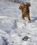 De wintergang met Cocker Spaniel stock fotografie