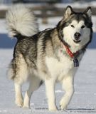 De winterhond Stock Foto