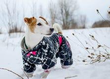 De winterhond Stock Afbeeldingen