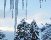 De winterijskegels vóór Dageraad met Sneeuw Behandelde Pijnboombomen op Achtergrond stock foto's