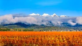 De winterkleuren van de bosbessengebieden in Pitt Polder dichtbij Esdoornrand in Fraser Valley van Brits Colombia, Canada stock foto