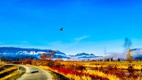 De winterkleuren van landbouwers` gebieden in Pitt Polder dichtbij Esdoornrand in Fraser Valley van Brits Colombia, Canada stock foto's