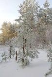 De winterlandschap in bos met pijnbomen Stock Fotografie