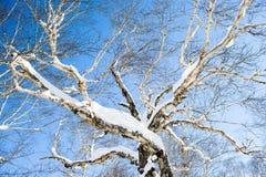 De winterlandschap een behandelde boom op een achtergrond van blauwe hemel Royalty-vrije Stock Foto
