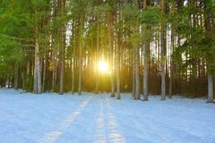 de winterlandschap in een pijnboombos de zon door tre glanst royalty-vrije stock afbeeldingen