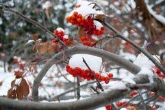De winterlandschap met lijsterbes in de sneeuw Stock Foto