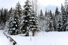 De winterlandschap met de sneeuw en de omheining van pijnboombomen stock fotografie