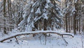 De winterlandschap van hoofdzakelijk vergankelijk bos in zonsonderganglicht Stock Foto's
