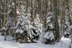 De winterlandschap van hoofdzakelijk vergankelijk bos in zonsonderganglicht Royalty-vrije Stock Foto's