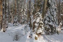 De winterlandschap van hoofdzakelijk vergankelijk bos in zonsonderganglicht Stock Foto