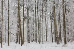 De winterlandschap van natuurlijk bos met berk en haagbeukbomen Royalty-vrije Stock Foto's