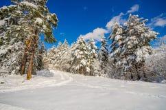 De winterlandschap van pijnboombomen en een grote hoedensneeuw en blauwe hemel Royalty-vrije Stock Fotografie
