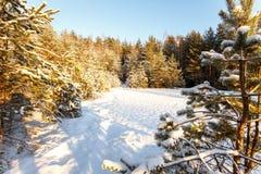 De winterlandschap van rand van een hout met kleine pijnboombomen in sunl Stock Foto