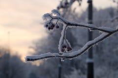 De winterlijsterbes Stock Foto